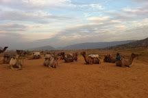 Dharma Camel Safari, Pushkar, India