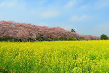 Gongendo Sakura Tsutsumi, Satte, Japan