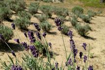 Cape Cod Lavender Farm, Harwich, United States