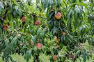 Pine Crest Orchard