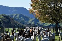 Nevalea Alpacas, Taumarunui, New Zealand