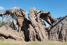 Sunland Baobab, Limpopo Province, South Africa