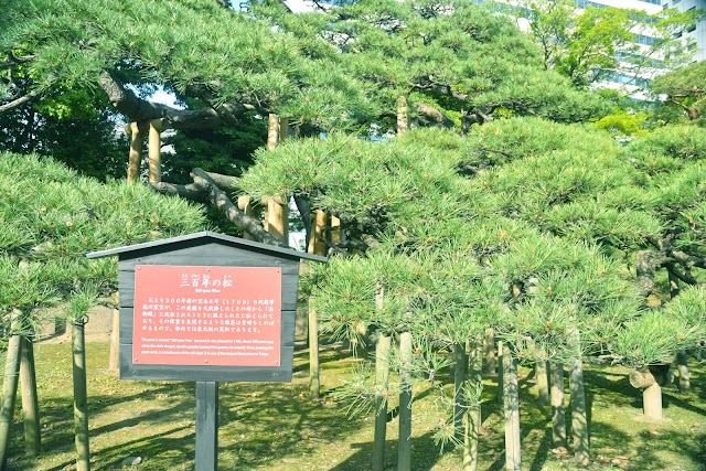 300 Year-Old Pine