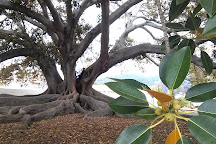 Moreton Bay Fig Tree, Santa Barbara, United States