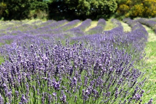 Jersey Lavender Ltd