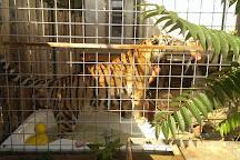 Oasis Siberian tiger, Kostolna pri Dunaji, Slovakia