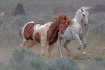 Red Canyon Wild Mustang Tour, Cody, United States