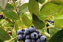 Otway Blueberries, Gellibrand, Australia