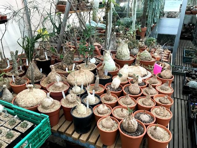 William's Cactus