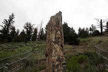 Petrified Tree, Yellowstone National Park, United States