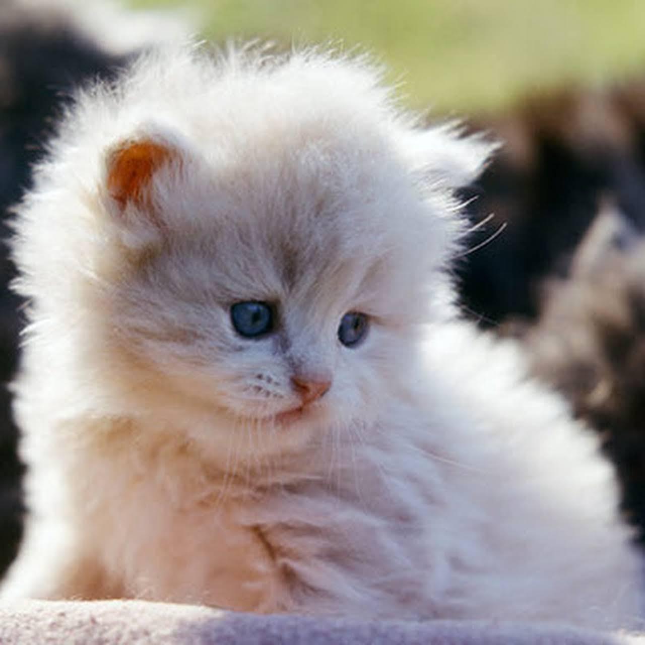 Royal Persian Cat Farm Cattery High Quality Kittens In Low Price Persian Cat In Kerala
