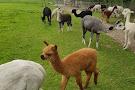 Hensting Alpacas alpaca walking