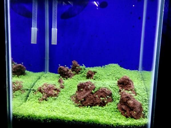 Mdjaya Aquarium Ikan Hias Ikan Cupang Wild Betta Fish Aquascape