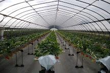 Ema Strawberry Picking Center, Izunokuni, Japan