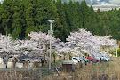 Kannon Sakura