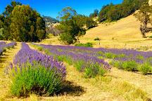 Balingup Lavender Farm, Balingup, Australia