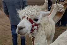 Alpaca Annie, Burmarsh, United Kingdom