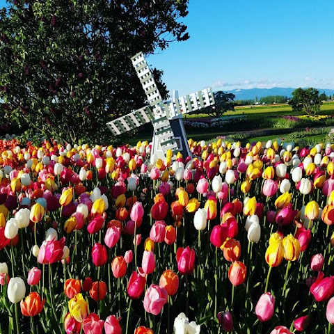 List item Skagit Valley Tulip Festival image