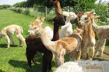 West Wight Alpacas, Wellow, United Kingdom