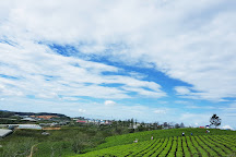 Cau Dat Tea Hill, Da Lat, Vietnam