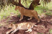 Lion Walk Safari, Brits, South Africa
