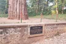 Kannimara Teak, Palakkad, India