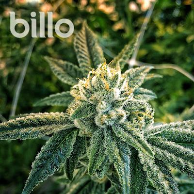 BILLO! Premium Cannabis Recreational & Medical