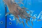 Sisi Fish Spa Therapy