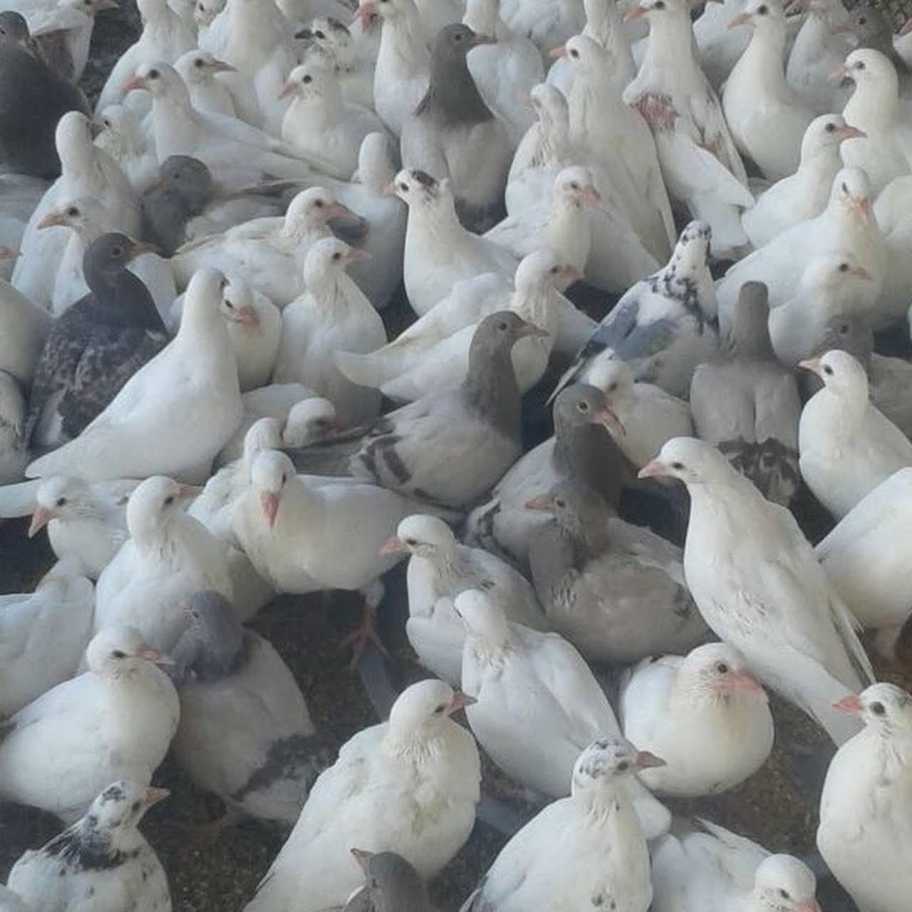 الدواجن البلدي زغاليل الحمام الفرنسي متجر طيور في الطائف
