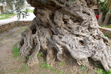 Ancient Olive Tree, Vouves, Greece