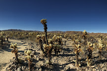 Cholla Cactus Garden, Joshua Tree National Park, United States