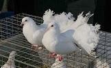 Голуби в Туле, голуби на свадьбу, улица Калинина, дом 79А на фото Тулы