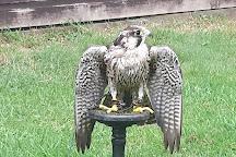 Icarus Falconry, Northampton, United Kingdom