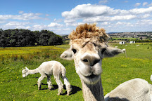Mayfield Alpacas, Sheffield, United Kingdom