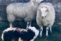 Irish Working Sheepdogs, Annamoe, Ireland