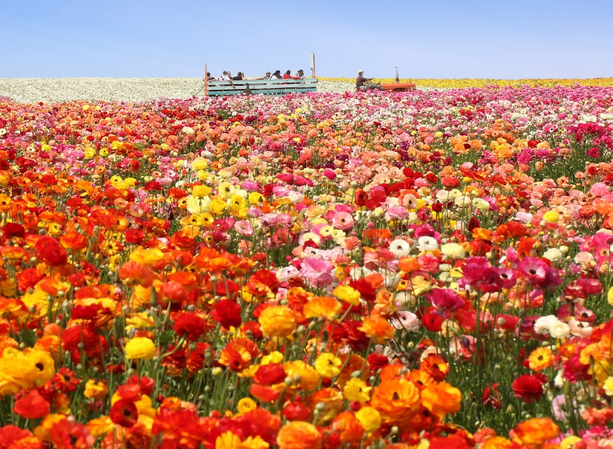The Flower Fields 5704 Paseo Del Norte Image