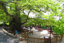 Platanus Tree, Krasi, Greece