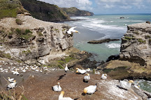 Muriwai Gannet Colony, Muriwai Beach, New Zealand
