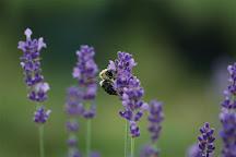Carousel Farm Lavender, Mechanicsville, United States