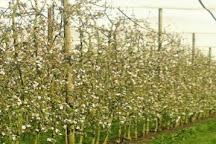 Staples Apples, Main Ridge, Australia
