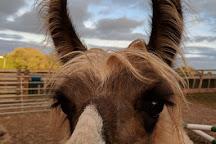 Briery Hill Llamas, Kilcot, United Kingdom