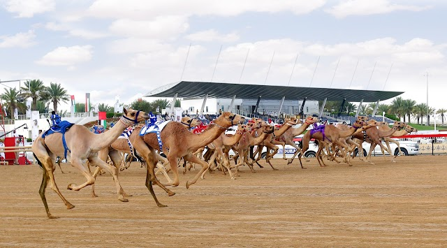 Camel Race Track Jebeeb