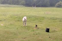 Hensting Alpacas alpaca walking, Eastleigh, United Kingdom
