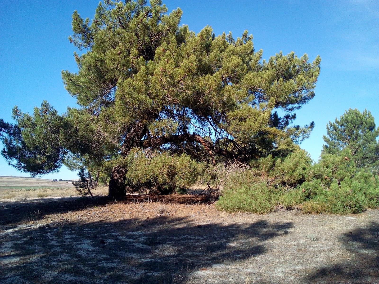 Torrecilla del Pinar