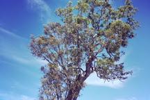 Bilstons Tree, Casterton, Australia