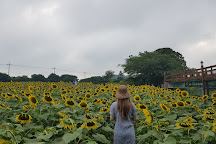 Kim Kyung-Sook Sunflower Farm, Jeju, South Korea