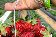 Cottle Strawberry Farm, Florence, United States
