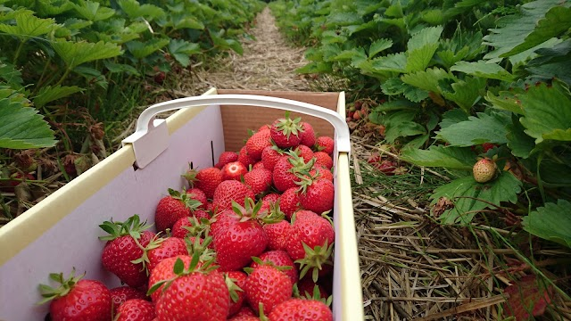 Erdbeerfeld zum selberpflücken