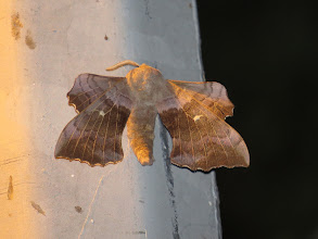Photo: 15 Jul 13 Priorslee Lake: The street-light competes with the flash to give a warm glow to this splendid Poplar Hawkmoth. No apologies for a repeat showing of this readily identifiable shape – the only large moth where the underwings are pushed forward to show from above. (Ed Wilson)