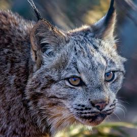 Bobcat by Dave Lipchen - Animals Lions, Tigers & Big Cats ( bobcat )